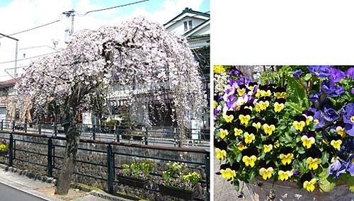 03 桜.jpg