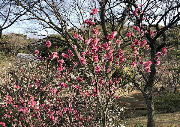 三渓園 梅