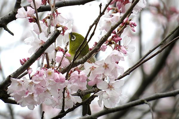 彼岸桜に目白