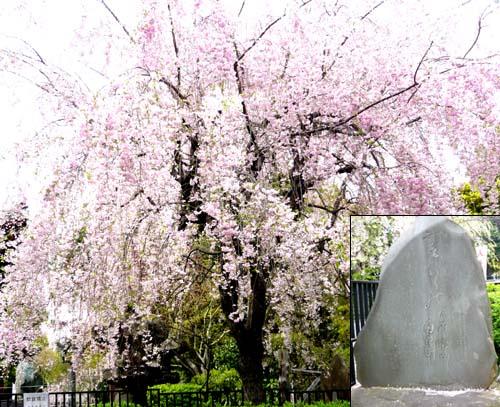 01 秋色桜と石碑.jpg