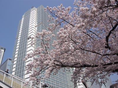 ビルと桜.jpg
