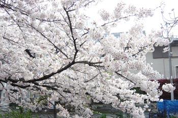 小杉の桜1.jpg