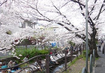 小杉の桜2.jpg