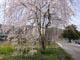 しだれ桜S.jpg