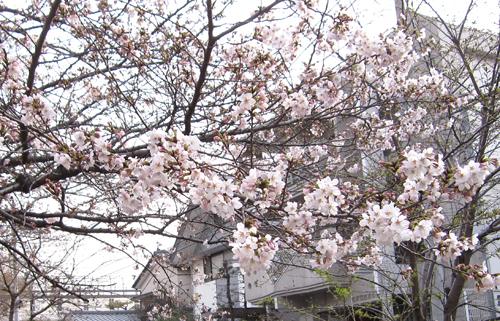 01桜.jpg