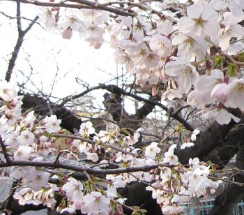 03桜.jpg
