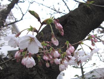 05桜.jpg