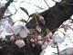 05桜s.jpg