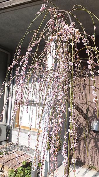03しだれ桜.jpg