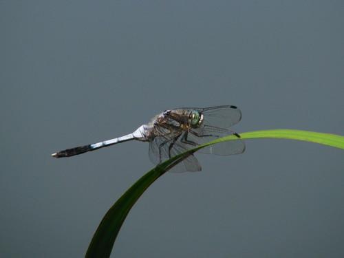 25蜻蛉.jpg