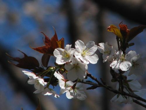 30山桜6.jpg